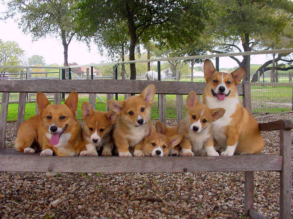 Corgis in the Park