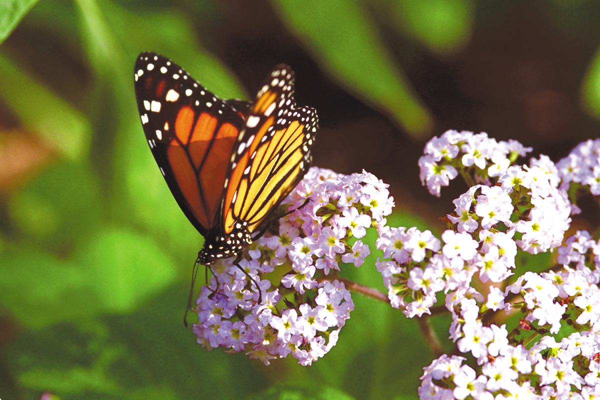 Meijer Gardens Butterflies are Blooming butterfly